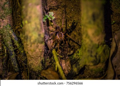 Wolf Spider in the Amazon rainforest of Manu National Park, Peru