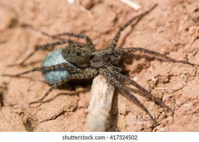 Wolf spider (Pardosa sp.) female with egg sac. Blue silk sac containing eggs attached to spinarets of female spider in the family Lycosidae