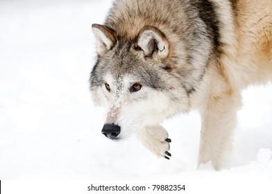 Wolf stalking in fresh snow