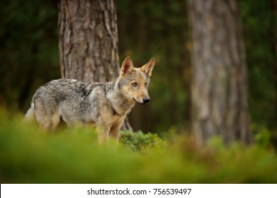 Wolf standing in forest