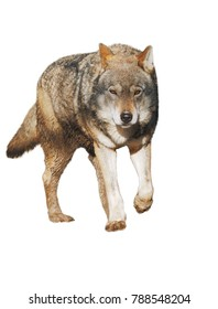Wolf standing grey full size cute