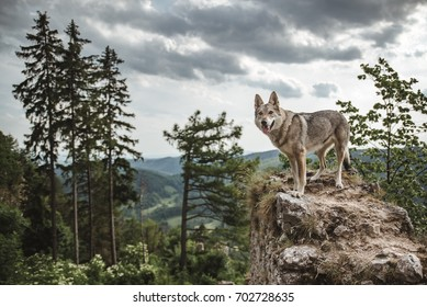 wolf standing on ruins of old castle with view into nature