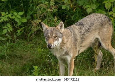 An wolf stands alert in a grassland