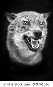 Wolf Teeth Images, Stock Photos & Vectors   Shutterstock