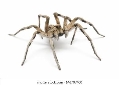 Wolf tarantula isolated on white background