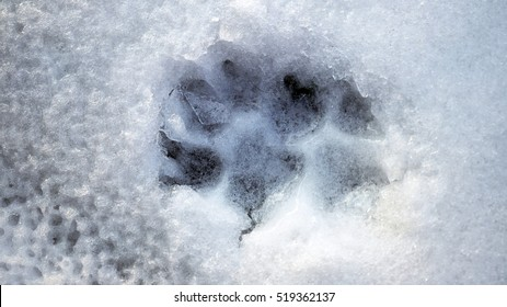 Wolf tracks in the frozen snow