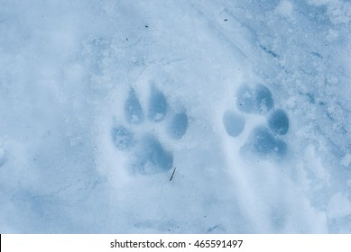 Wolf tracks in the icy snow