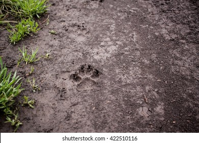 Wolf tracks in wet dirt after rain