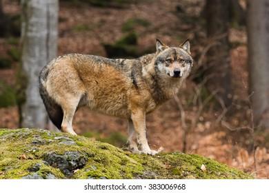 Wolf, vlk - Shutterstock ID 383006968