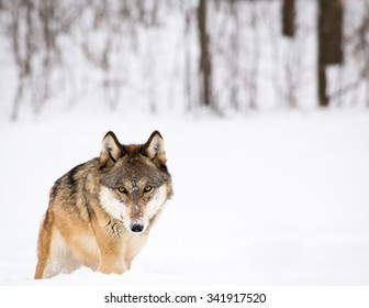 Wolf walking in snow in front of wooded area