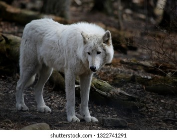Wolf and wildlife photography