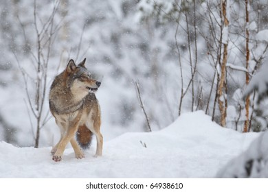 Wolf at Winter