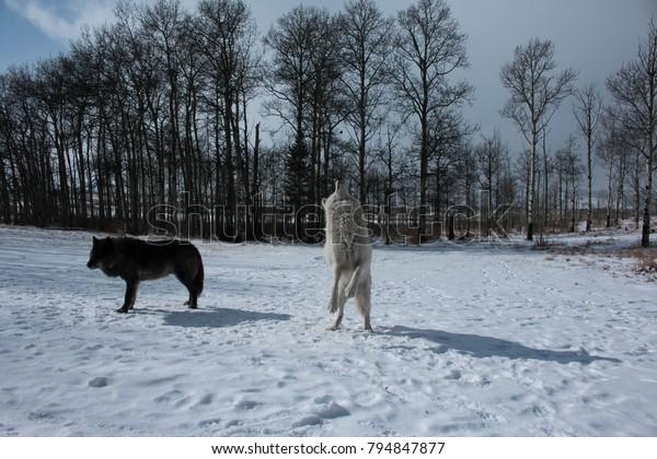 Wolf in winter. Amazing tour in Yamnuska Wolfdog Sanctuary.