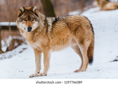 Wolf in the winter forest