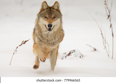 Wolf in winter. Running animal in attack. Canis lupus. Gray wolves