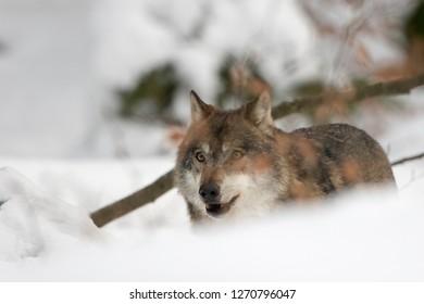 """Wolf in the winterly National park """"Bayerischer Wald"""""""