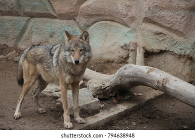 wolf in the zoo on the ground