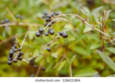 wolfberry, black berries on a branch