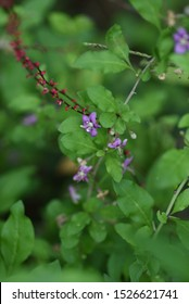 Wolf-berry flowers / Wolf-berry (Chinese desert-thorn) grows on river banks and bears light purple flowers and red fruits. It is also a medicinal tree and the fruit is used for fruit wine.