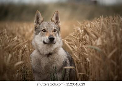Wolfdog in corn field
