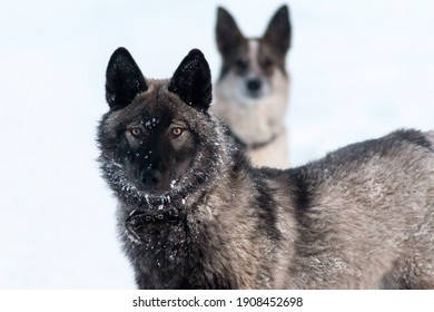Wolf-dog hybrid in snow with stray dog in the background