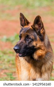 Wolf-dog K9 portrait in TURKEY