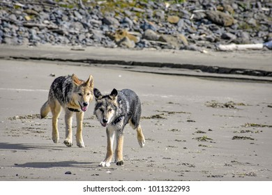 wolfdog puppies' first time at the beach