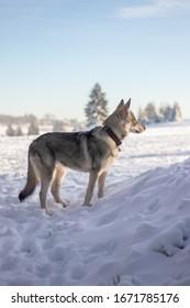 Wolfdog puppy standing in snow