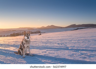 Wolfdog sitting in the sunset with mountains in the background where is visible castle Buchlov near city Uherske Hradiste in the Chriby mountains
