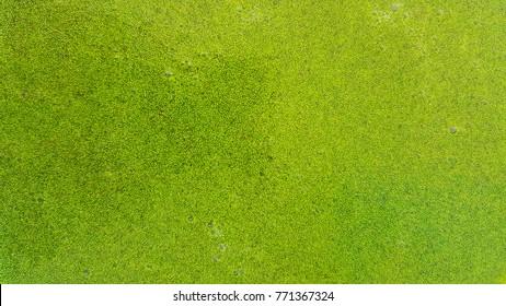 Wolffia globosa or Fresh water Alga, Water Meal, Swamp Algae is local food for Thailand.
