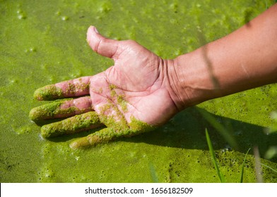 Wolffia in hand, is the smallest flowering plants on Earth. Commonly called watermeal or duckweed, these aquatic plants resemble specks of cornmeal floating on the water.