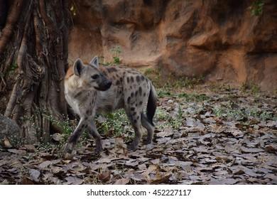Wolf,fox,animal,dog,Zoo evening