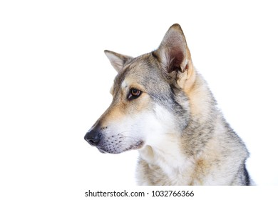 wolfhound in front of white background