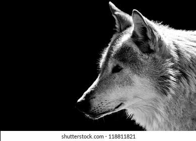 Wolf's head close-up