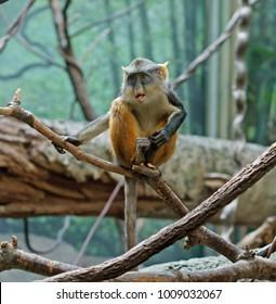 Wolf's mona monkey (Cercopithecus wolfi), also called Wolf's guenon