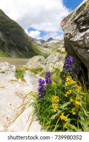 Wolfsbane (Aconitum napellus) growing near the Dorfersee lake visible in the background, high up in the Hohe Tauern national park in Austria.