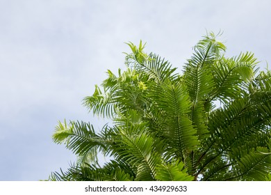 The Wollemia ( Wollemia nobilis) is an only in 1994 discovered in Australia plant. She was previously known only from many millions of years old fossils and therefore thought to be extinct.
