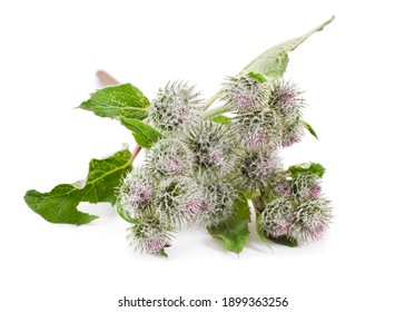 Wolly or downy burdock flowers (Arctium tomentosum) isolated on a white background.