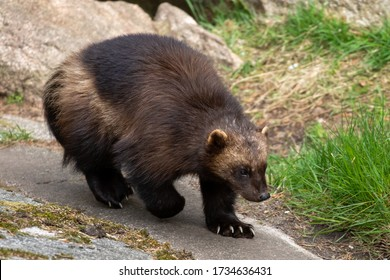 Wolverine with big claws walking on a hillside