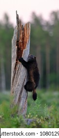 Wolverine climbing on a tree trunk