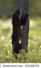 Wolverine climbing on the tree. Wild nature. Natural habitat. Glutton, carcajou, skunk bear, or quickhatch. Scientific name: gulo gulo