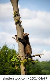 Wolverine climbing the tree. Gulo gulo.
