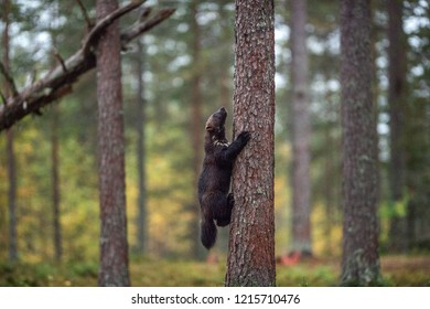 Wolverine climbs a tree. Wild nature, natural habitat. Glutton, carcajou, skunk bear, or quickhatch (gulo gulo)