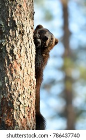 Wolverine close up on a tree
