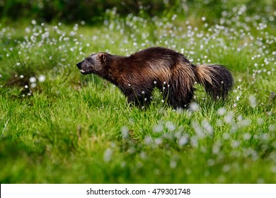 Wolverine in cotton grass in Finnish Nature. Running tenacious Wolverine in taiga. Wildlife scene from north of Europe. Dangerous animal in the nature.