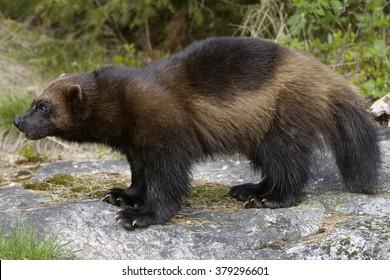 Wolverine (Glutton)