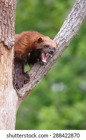 wolverine growls at intruders