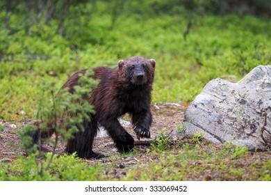 Wolverine (Gulo gulo) in finnish tajga. Border between Finland and Russia Karelia