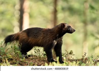 wolverine (gulo gulo) in forest