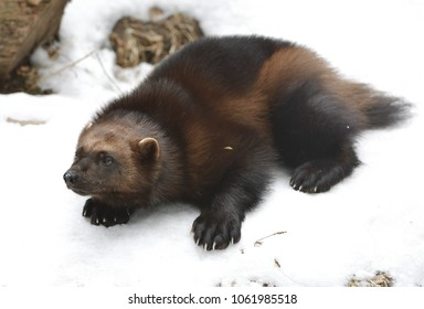 """Wolverine, Gulo gulo (Gulo is Latin for """"glutton""""), also referred to as glutton, carcajou, skunk bear, or quickhatch, on snow (focus on muzzle)"""